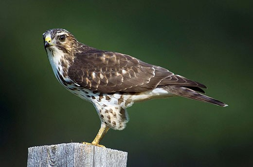 Broad wing hawk, Buteo platypterus On fence post with grasshopper prey : Stock Photo