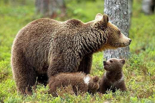 Brown Bear (Ursos arctos), female with cubs, pine forest, Carelia, Finland. : Stock Photo