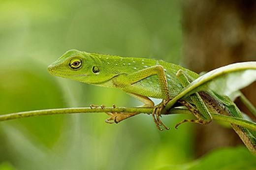 Stock Photo: 1566-330829 Green garden lizard, Broncocoela cristatella, Sukau River, Sabah, Borneo.