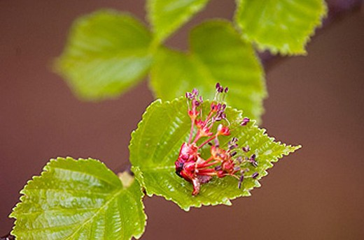 Red maple, Acer rubra. Fallen flowers on emerging birch leaf : Stock Photo