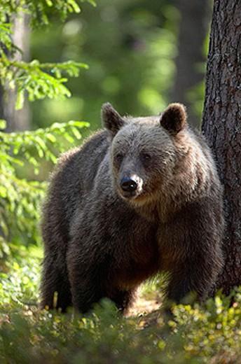 European Brown Bear (Ursus arctos) : Stock Photo