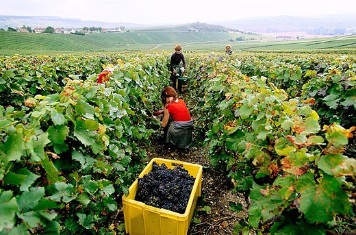 Stock Photo: 1566-332474 Pinot noir, vine-harvest at fall in vineyards, Champagne district, France
