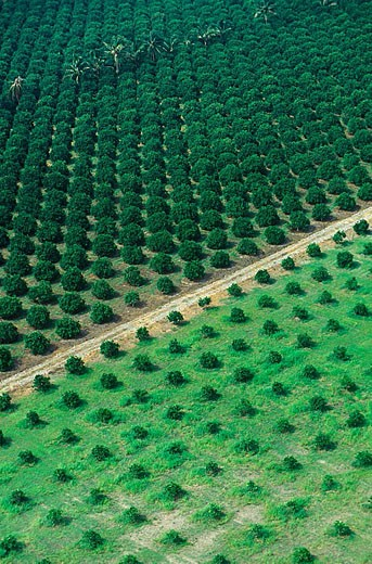 Stock Photo: 1566-332782 Citrics plantation in Veracruz, first citric producer in Mexico with 192000 hectares. Mexico.