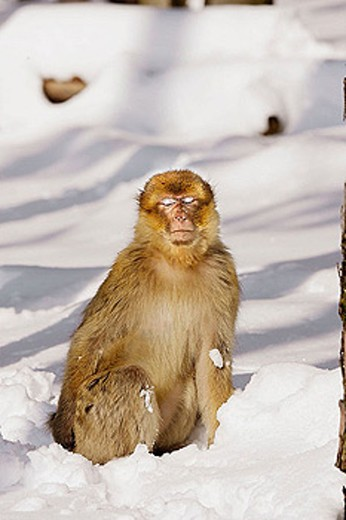 Stock Photo: 1566-335880 Barbary Macaque (Macaca sylvanus). La Montagne des Singes. Kintzheim. Alsace. France