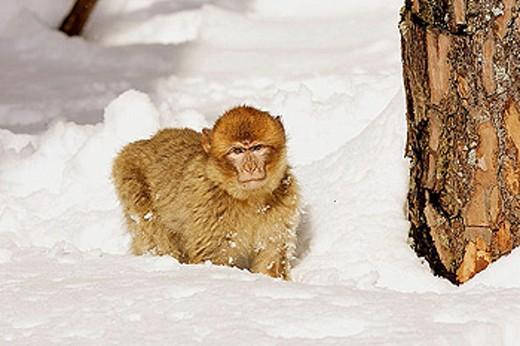Stock Photo: 1566-335881 Barbary Macaque (Macaca sylvanus). La Montagne des Singes. Kintzheim. Alsace. France