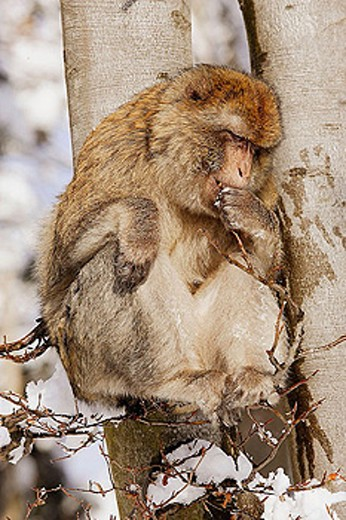 Stock Photo: 1566-335884 Barbary Macaque (Macaca sylvanus). La Montagne des Singes. Kintzheim. Alsace. France