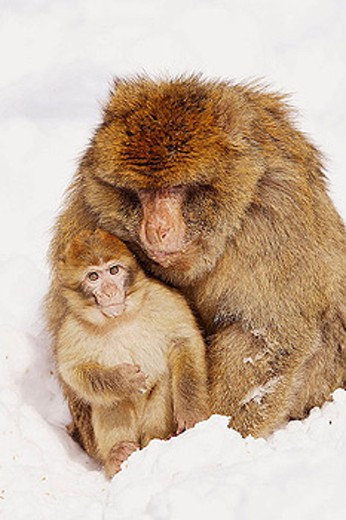 Stock Photo: 1566-335887 Barbary Macaque (Macaca sylvanus). La Montagne des Singes. Kintzheim. Alsace. France