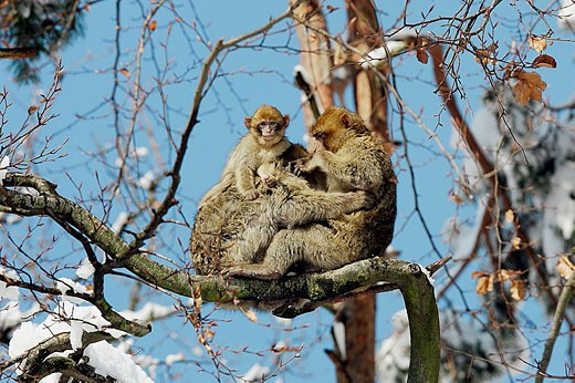 Stock Photo: 1566-335891 Barbary Macaque (Macaca sylvanus). La Montagne des Singes. Kintzheim. Alsace. France.