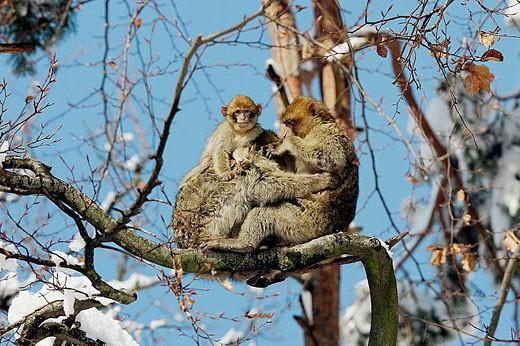 Barbary Macaque (Macaca sylvanus). La Montagne des Singes. Kintzheim. Alsace. France. : Stock Photo