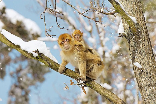 Stock Photo: 1566-335892 Barbary Macaque (Macaca sylvanus). La Montagne des Singes. Kintzheim. Alsace. France