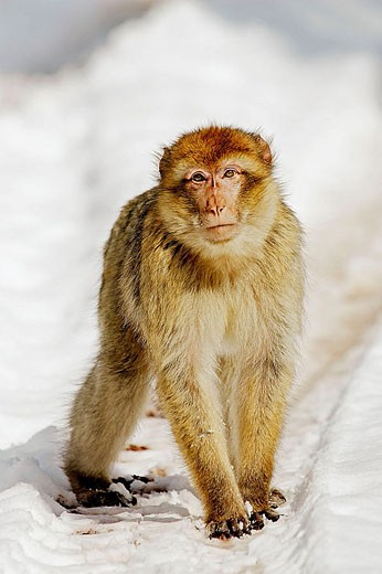 Stock Photo: 1566-335895 Barbary Macaque (Macaca sylvanus). La Montagne des Singes. Kintzheim. Alsace. France