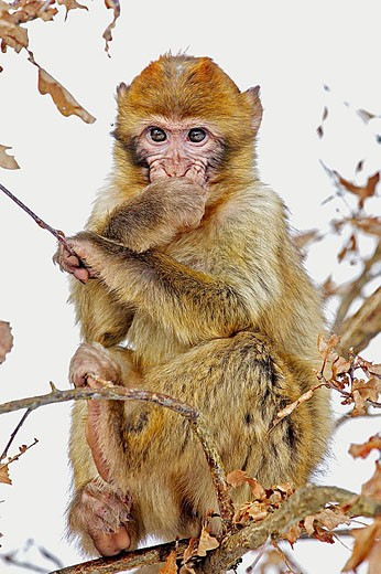 Barbary Macaque (Macaca sylvanus). La Montagne des Singes. Kintzheim. Alsace. France : Stock Photo