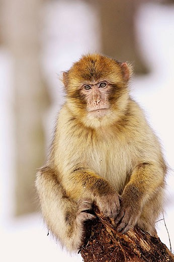 Stock Photo: 1566-335899 Barbary Macaque (Macaca sylvanus). La Montagne des Singes. Kintzheim. Alsace. France