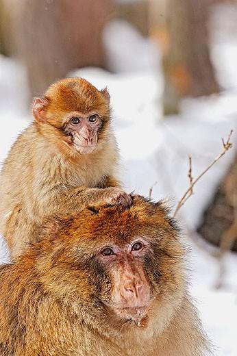 Stock Photo: 1566-335903 Barbary Macaque (Macaca sylvanus). La Montagne des Singes. Kintzheim. Alsace. France