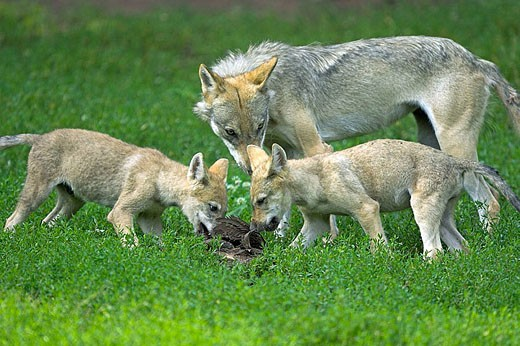 Stock Photo: 1566-336891 Wolf (Canis lupus), captive, cubs. Germany