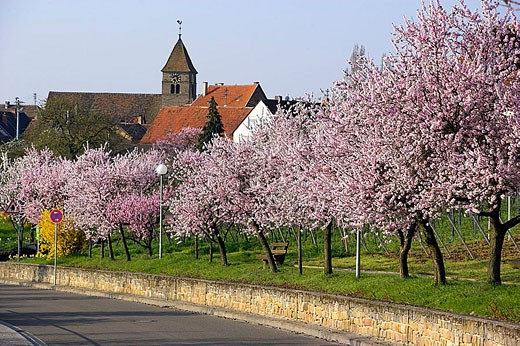 Amond tree blooming. Rhineland Palatinate, Gimmeldingen, Germany, April 2006 : Stock Photo