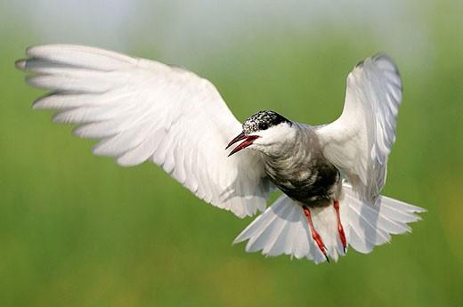 Whiskered Tern (Chlidonias hybridus) : Stock Photo