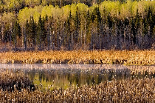 Stock Photo: 1566-338768 Emerging spring foliage reflected in beaver pond. Ontario, Canada