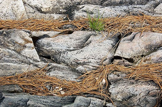 Aux Sables R shoreline rocks with collected pine needles and sprouting herbs. Ontario, Canada : Stock Photo