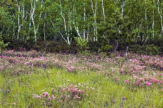 Wetland with blooming bog laurel and stand of white birch trees. Ontario, Canada : Stock Photo
