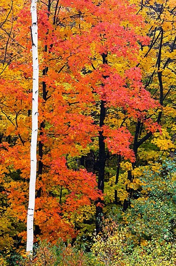 Maple foliage and birch tree trunks. Ontario, Canada : Stock Photo