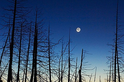Moon and wetland snags before dawn. Ontario, Canada : Stock Photo