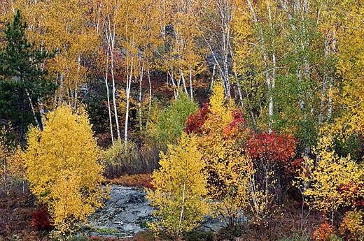 Stock Photo: 1566-338948 Autumn colour with birch trees. Ontario, Canada