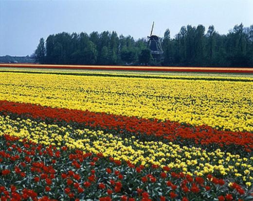 Windmill, Tulip fields, Keukenhof, Lisse, Holland. : Stock Photo