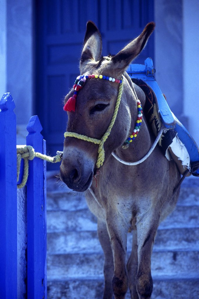 Stock Photo: 1566-341961 Donkey, Santorini, Greece.