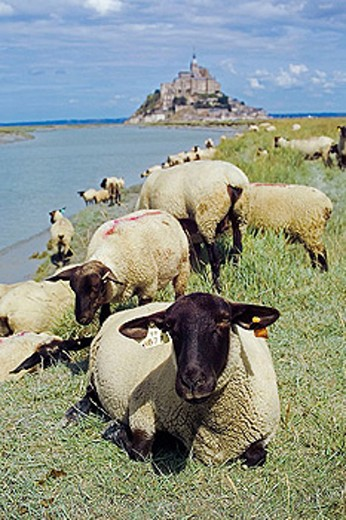 Sheep grazing. Mont Saint Michel and Couesnon River. Manche, Normandy, France : Stock Photo