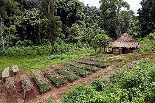 Coffee plants. Awasa. Ethiopia. : Stock Photo