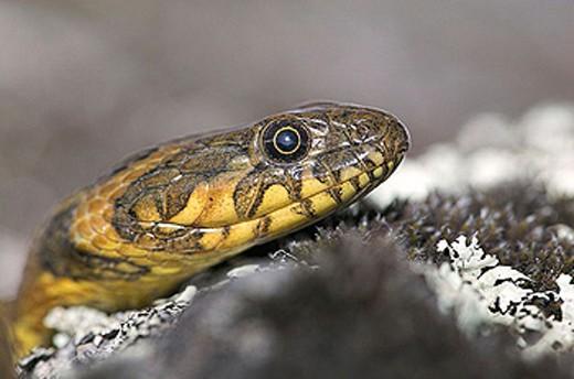 Stock Photo: 1566-350527 Grass Snake (Natrix natrix)