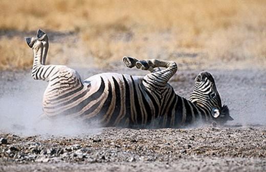 Stock Photo: 1566-352811 Burchell´s Zebra (Equus burchelli). Etosha National Park, Namibia.