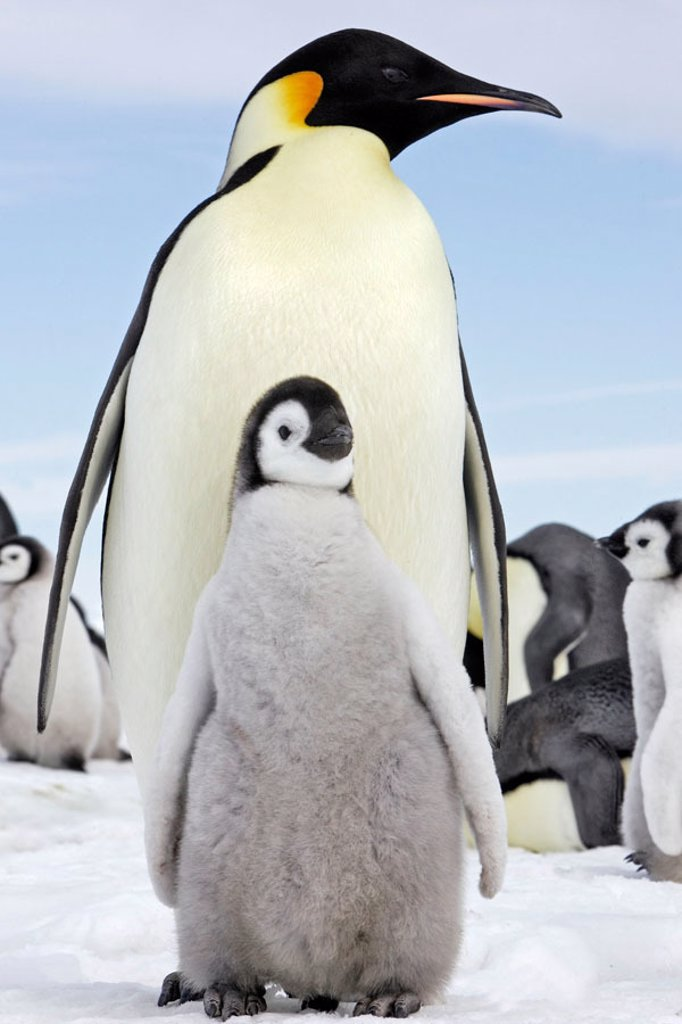 Stock Photo: 1566-353056 Emperor Penguins (Aptenodytes forsteri). Snow Hill Island. Antarctica