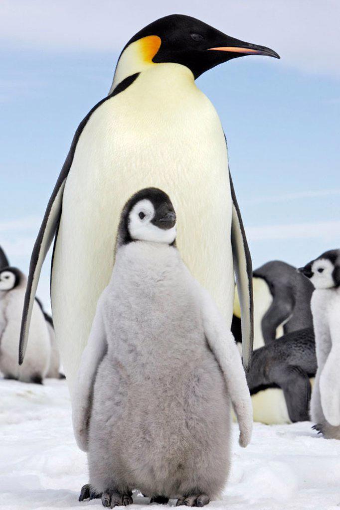 Stock Photo: 1566-353056 Emperor Penguins (Aptenodytes forsteri). Snow Hill Island. Antarctica