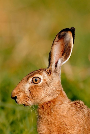 Lepus europaeus, Germany : Stock Photo