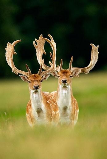Fallow Deers (Cervus dama). Denmark : Stock Photo