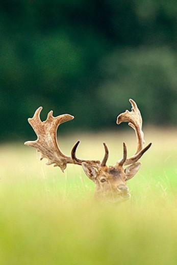 Fallow Deer (Cervus dama). Denmark : Stock Photo