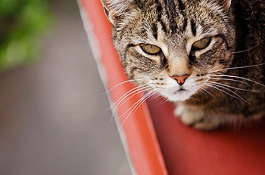 Common cat. Sweden : Stock Photo