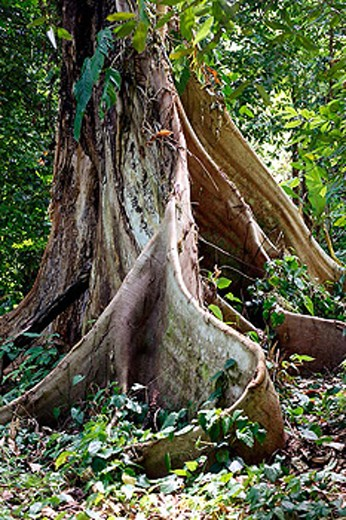 Giant roots of a Candle Nut (Canary) tree, Banda Islands, Molucca Archipelago, Indonesia, Southeast Asia : Stock Photo