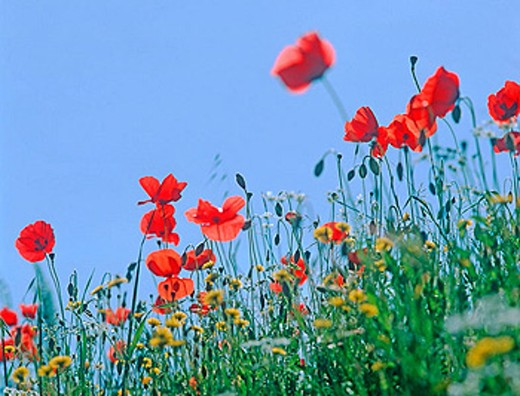 Stock Photo: 1566-355196 Poppies in backlight.