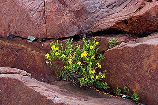 Stock Photo: 1566-357348 Cinquefoil, Potentilla spp. Blooming among Lake Huron shoreline rocks