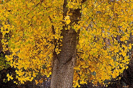 Stock Photo: 1566-357371 Cottonwood tree Populus angustifolia in autumn foliage