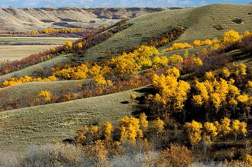 Qu´Appelle Valley- aspens on valley slopes : Stock Photo