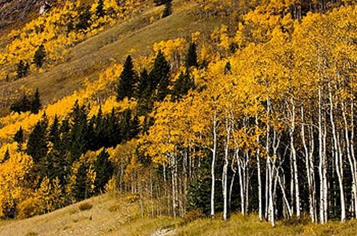 Stock Photo: 1566-357412 Fall aspen on rangeland slopes