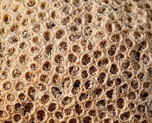Anthozoa fossil.  Orbicella. Pliocene. Diameter: Polypus 9 mm. Marsa Alam. Egypt. : Stock Photo