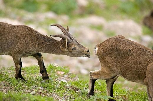 Rock Goat (Capra ibex). Parque Natural Sierras de Tejeda y Almijara. Málaga province, Spain : Stock Photo