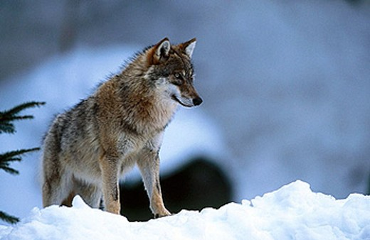 Wolf (Canis lupus) : Stock Photo