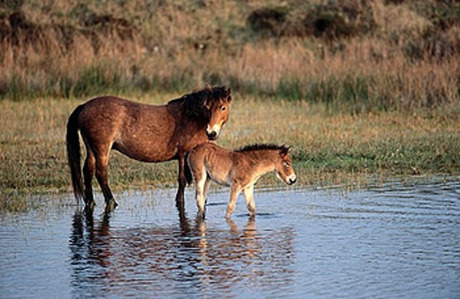 Stock Photo: 1566-360785 Exmoor ponies. Texel Island, Netherlands