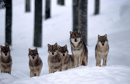 Wolves (Canis lupus) : Stock Photo